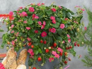 toscana-fraisier-deco-2